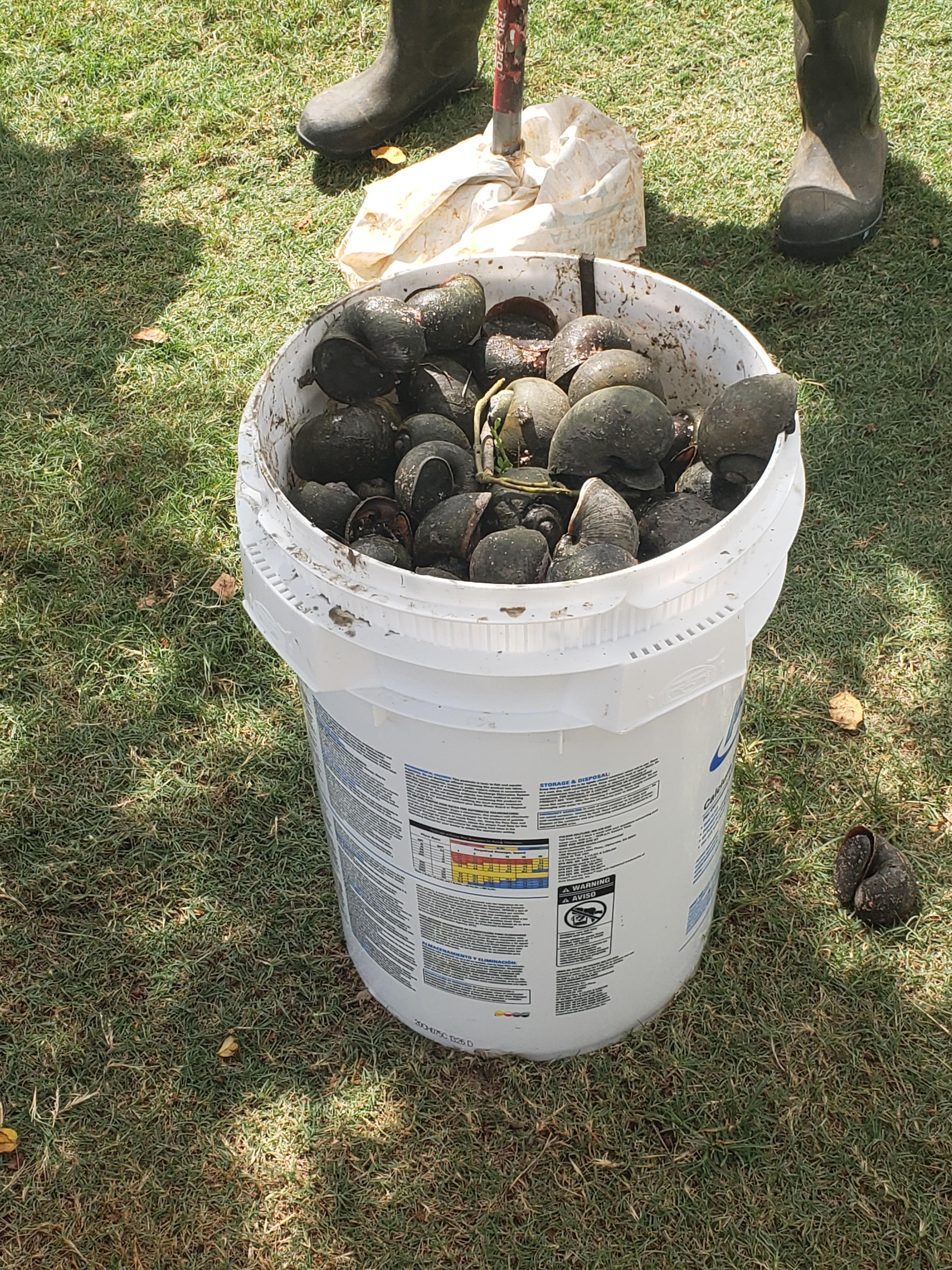 Apple snails in bucket- LaPorte