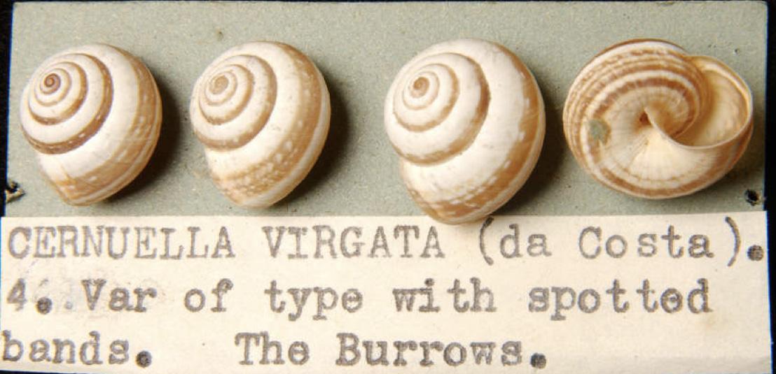 Banding of C. virgata.