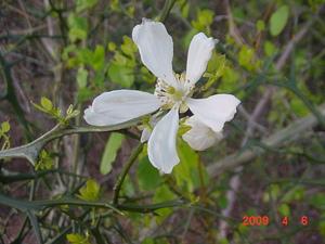 trifoliate_orange_flower