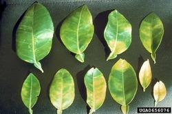 Citrus greening. JM Bove