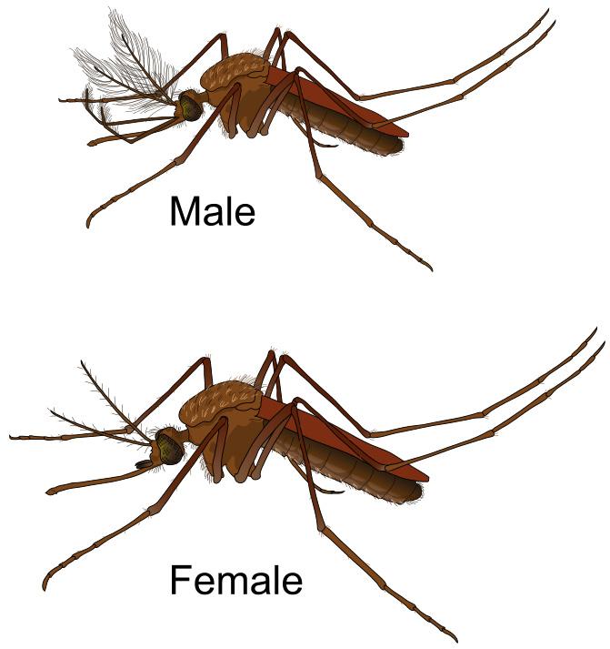 Mosquito gender