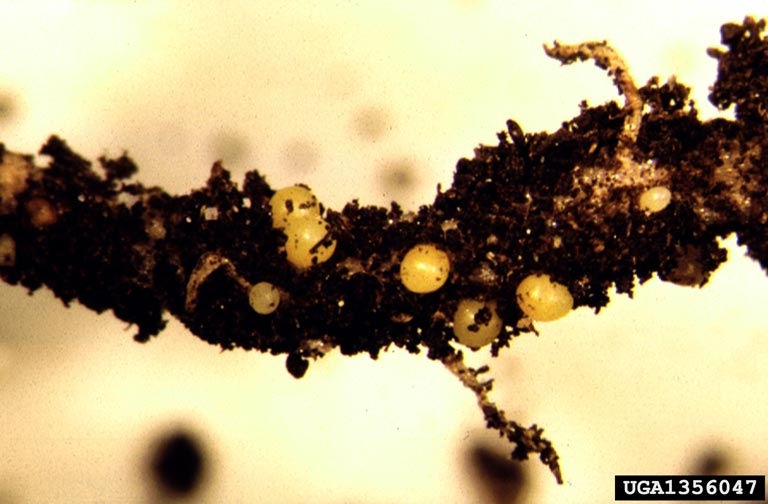 Potato cyst nematode. Christopher Hogger
