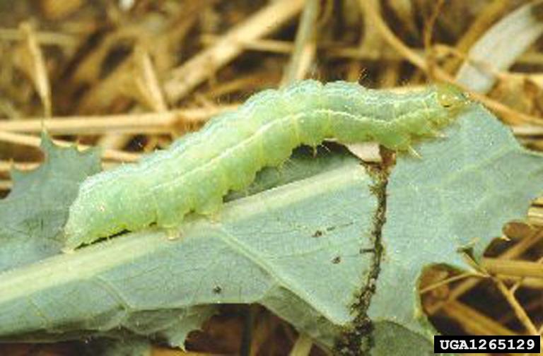 Silver y Moth larva Paolo Mazzei