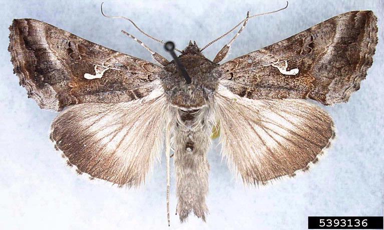 Silver y Moth. Julieta Brambila. USDA APHIS PPQ