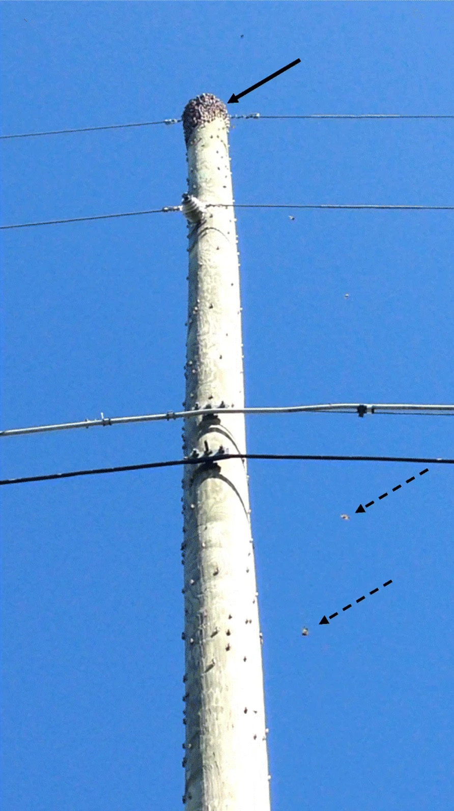 Spotted lantern flys moving toward top of telephone pole