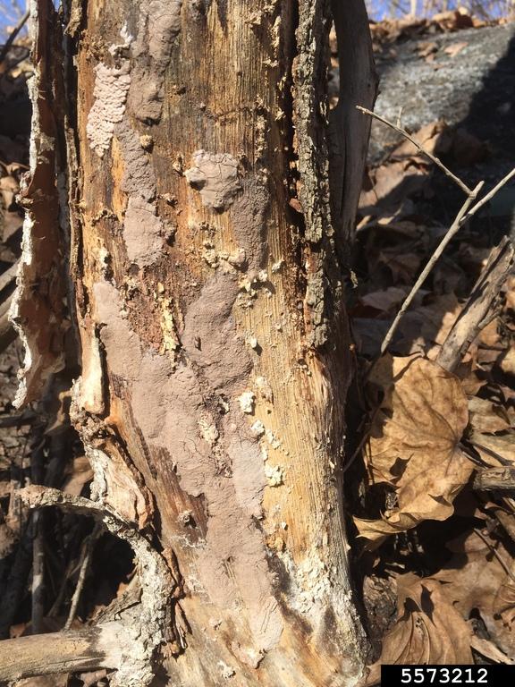 SLF egg masses under tree bark