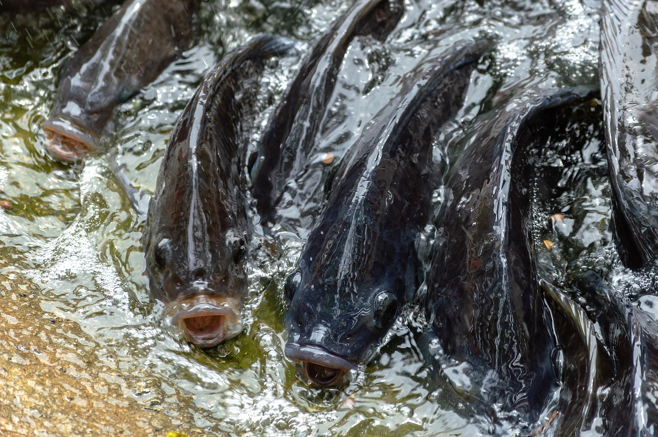 tilapia in water