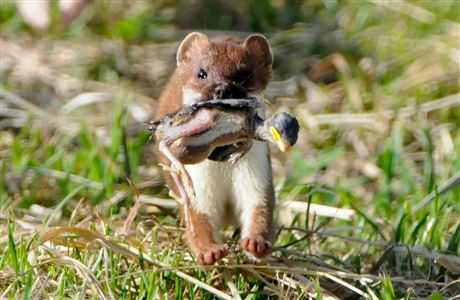 NZ stoat with nestling