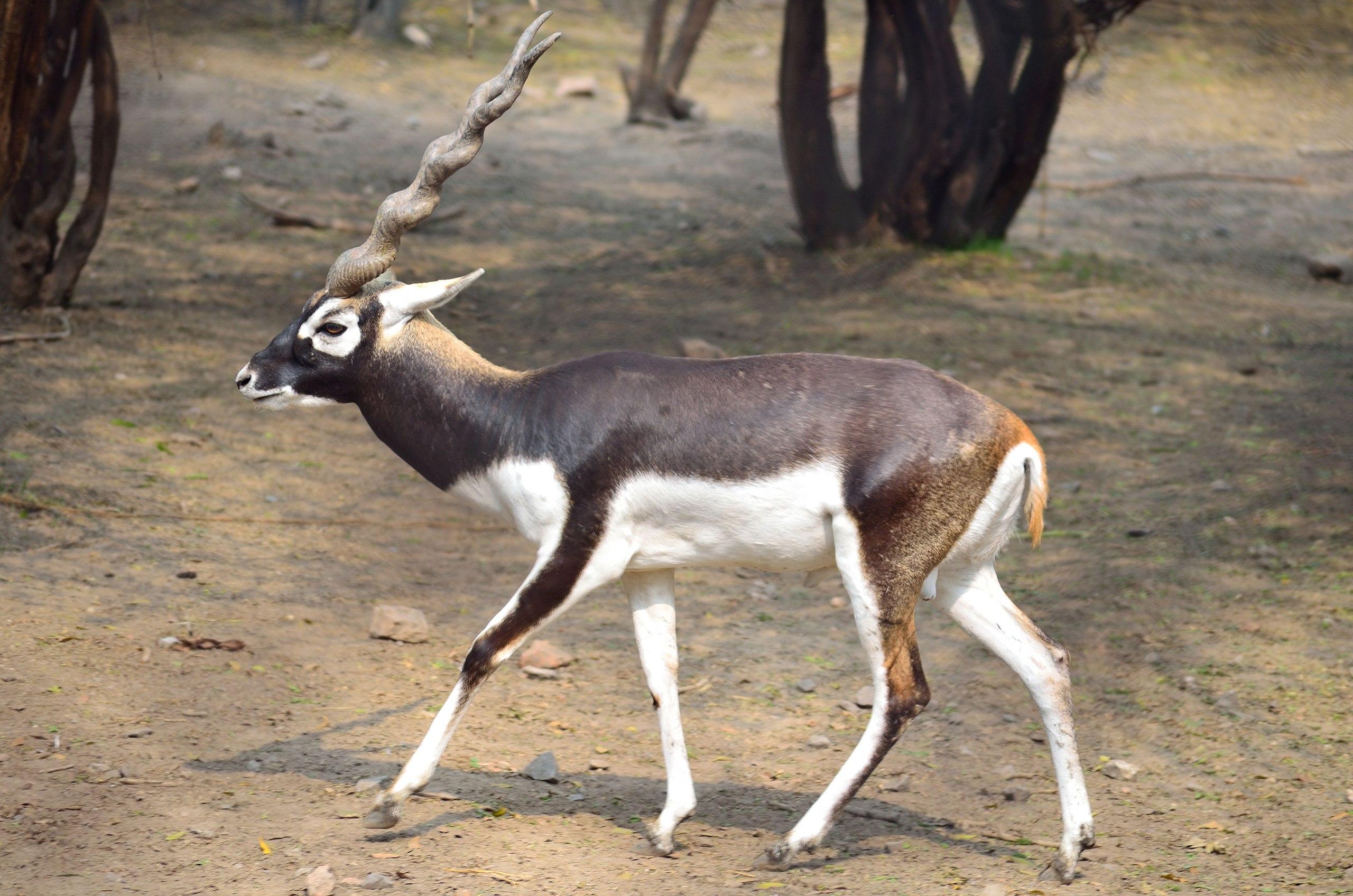 Adult male blackbuck (Antilope cervicapra)