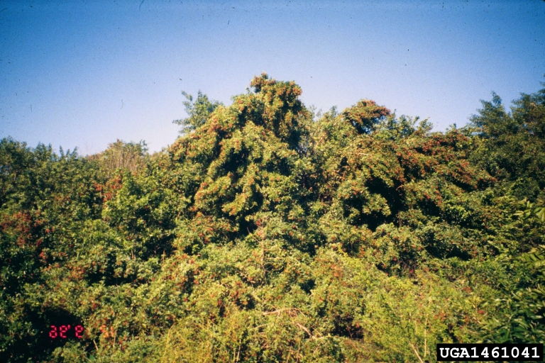 Brazilian peppertree (Schinus terebinthifolia)
