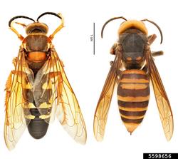 Sphecius speciosus (left) and Vespa mandarinia (right). 3
