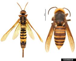 Tremex columba (left) and Vespa mandarinia (right)