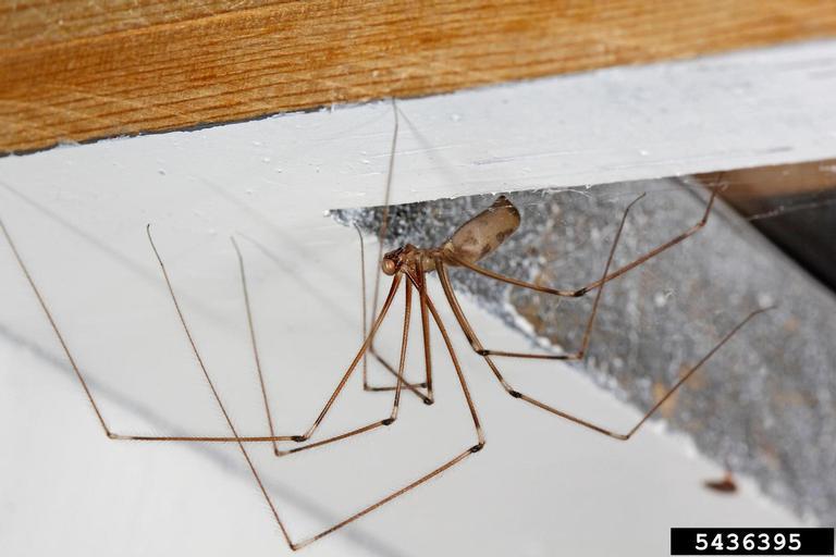 cellar spiders (Pholcus sp.). Credit Joseph Berger