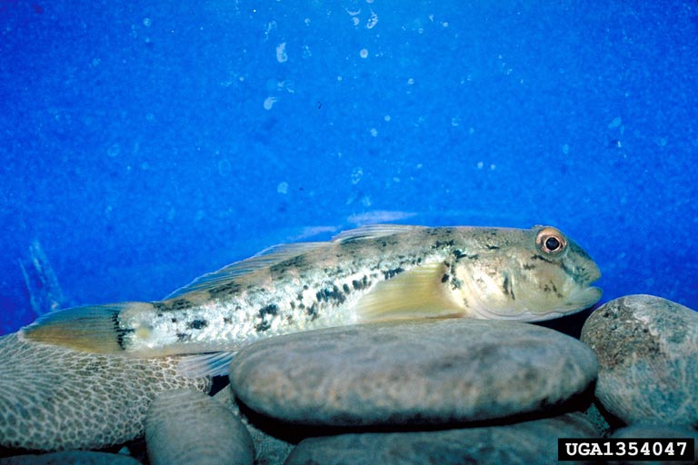 round goby (Neogobius melanostomus). Center for Great Lakes and Aquatic Sciences