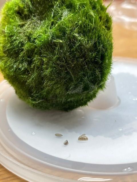 Moss ball and Zebra mussel. Photo by IDFW