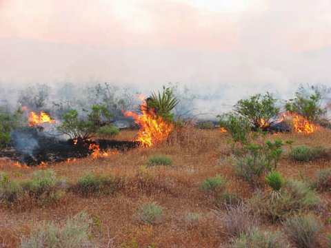 Wildfire in the Mojave Desert fueled by the invasive exotic grass red brome (Bromus rubens). Photograph- Kimberleigh J. Field.