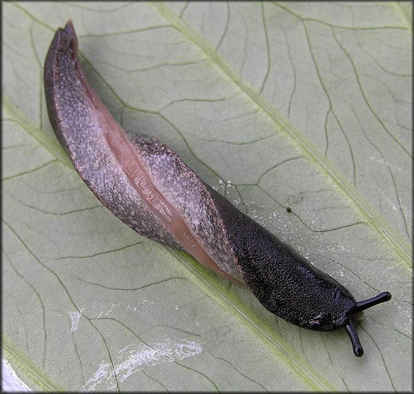 black velvet leatherleaf slug. Photo B. Frank. Jacksonville