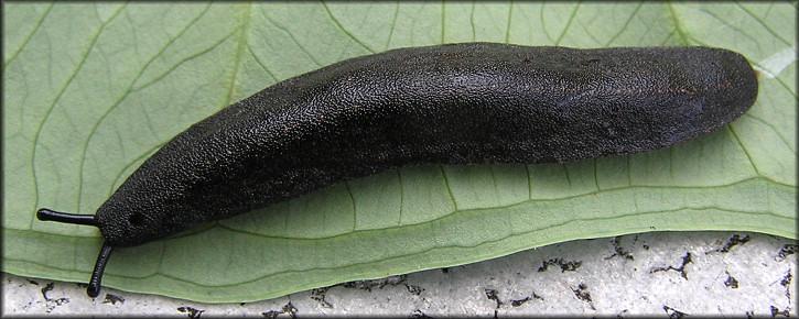 black velvet leatherleaf slug. jexshells.org