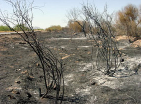 buffelgrass regrowing after fire. no natives survived. mpsaz.org