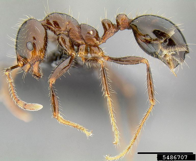 BIFA S. richteri lateral view