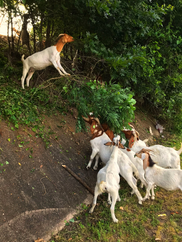 Multiple Goats for Hire- Rent-A-Ruminant 2