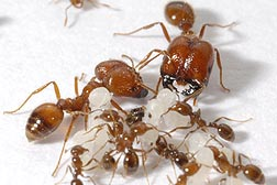 S. geminata small workers and big headed workers-  3