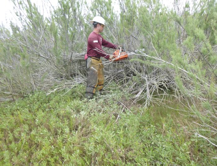 Corps member treating salt cedar with cut stump approach