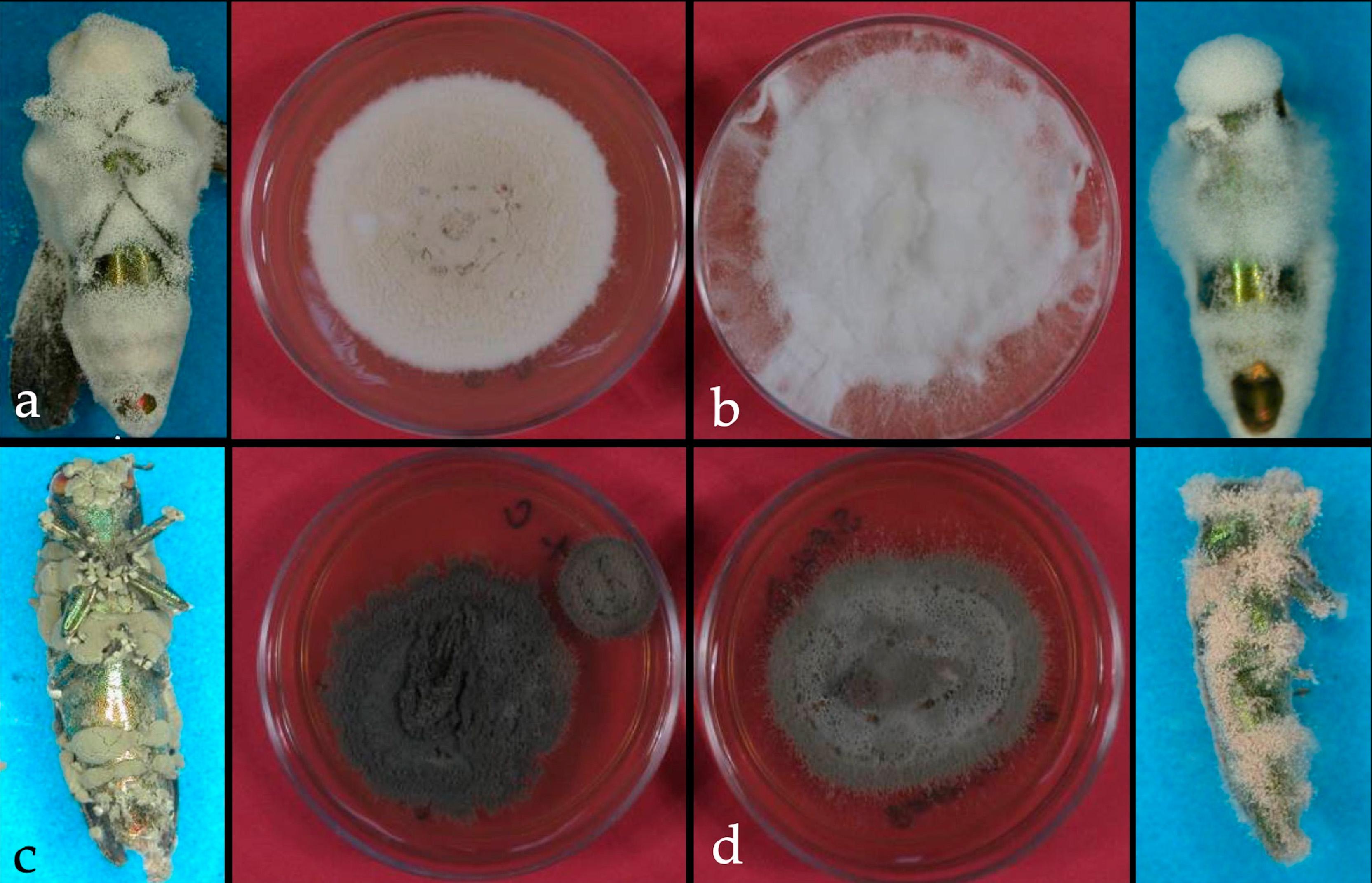 Dara et al 2019 Entomopathogenic fungi on Agrilus planipennis