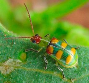 Cucurbit beetle. credit Dirceu N. Gassen. modification of figure from Walsh et al 2020