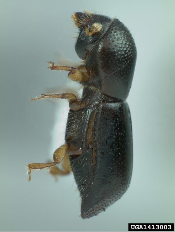 redbay ambrosia beetle (Xyleborus glabratus). Michael C. Thomas. Florida Department of Agriculture and Consumer Services