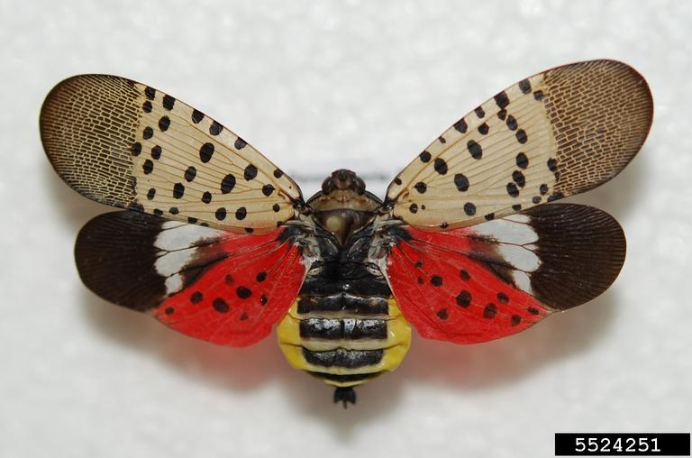 spotted lanternfly (Lycorma delicatula). Lawrence Barringer. Pennsylvania Department of Agriculture