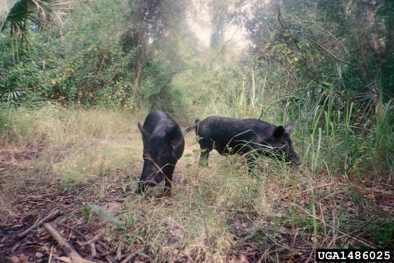 wild hogs. Dan Clark. USDI National Park Service