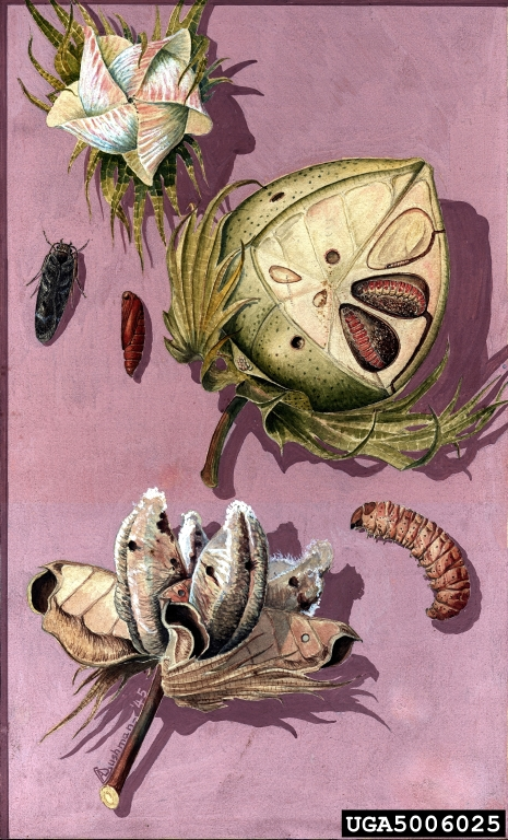 Pink Bollworm. Illustration by Arthur Cushman