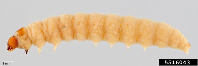 pink bollworm larvae (P. gossypiella)