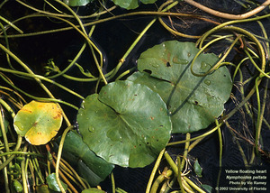 yellow floating heart leaves