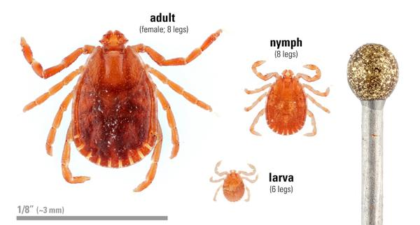 asian-longhorned-tick_life-cycle