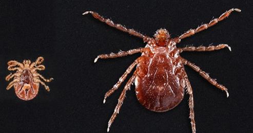 asian-longhorned-ticks-underside
