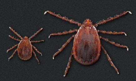 asian-longhorned-ticks